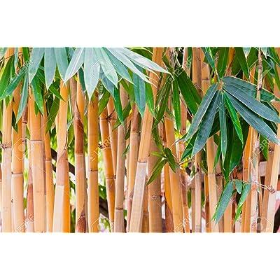 Cicitar Garden - China 20pcs Rare Moso Bamboo Giant Bamboo Evergreen Tree Seed Exotic, Calcutta Bamboo Grass Hardy Perennial : Garden & Outdoor