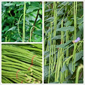 Long Bean Seeds 30g Snake/Yard-Long Asparagus Bean Red Noodle Pole Bean Garden Vegetable Organic Green Fresh Chinese Seeds for Planting Outside Door Cooking Dish Taste Sweet Delicious
