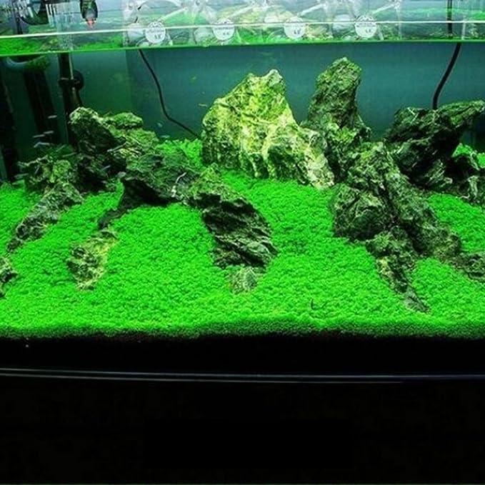 Planta de acuario para acuario, acuática, decoración de hierba de agua de planta, planta de hierba de hoja pequeña: Amazon.es: Jardín