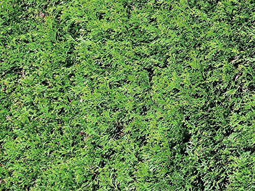 Thuja Green Giant Arborvitae (5 Potted Plants) by Thuja Green Giant Arborvitae by - Panter.com