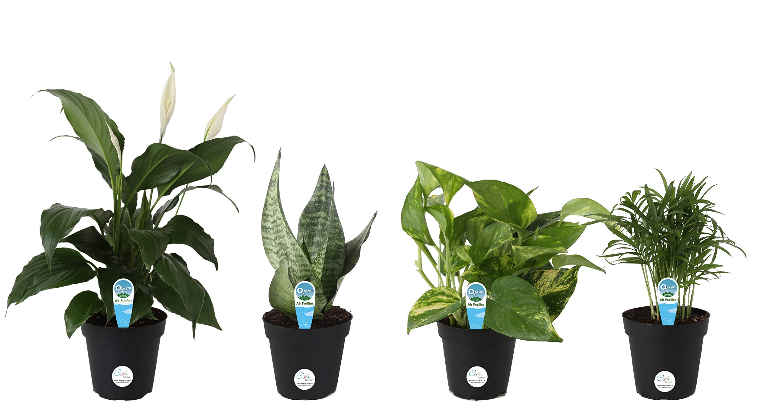 Costa Farms Clean Air - O2 for You Live House Plant Collection, 4-Pack, Includes Peace Lily, Snake Plant, Parlor Palm, Devil's Ivy, 4-Inch Grower Pot