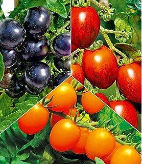 2 Pflanzen Riesentomaten BALDUR-Garten Veredelte Fleisch-TomateGigantomo F1