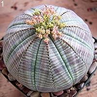 100PcsPlant Cactus Semillas Oficina En Casa Balcón Bonsai Decoración 1# Semillas de plantas suculentas