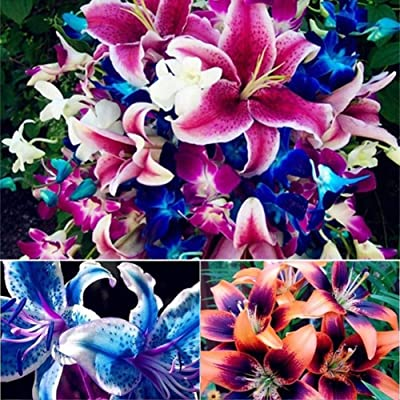 Plant Seeds for Planting 100Pcs Mixed Lily Bulbs Seeds Balcony Plant Lilium Perfume Flower Bonsai Decor : Garden & Outdoor