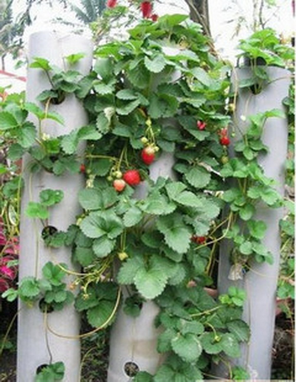 leading-star 100pcs Red Strawberry Climbing strawberry fruits seeds by leading-star SHOMPF2230