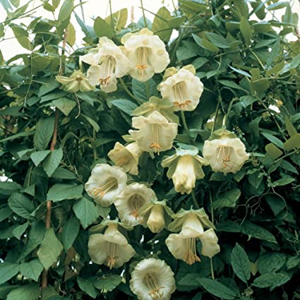 Amazon cup and saucer vine white flowers 10 seeds cup and saucer vine white flowers 10 seeds cobaea scandens mightylinksfo