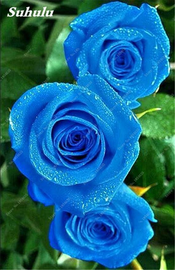 50 PC Rose Semillas de flor de Rose fáciles de cultivar bricolaje Jardín Bonsai Plantar Inicio Jardín de Plantas para la esposa mejor regalo de cumpleaños ...