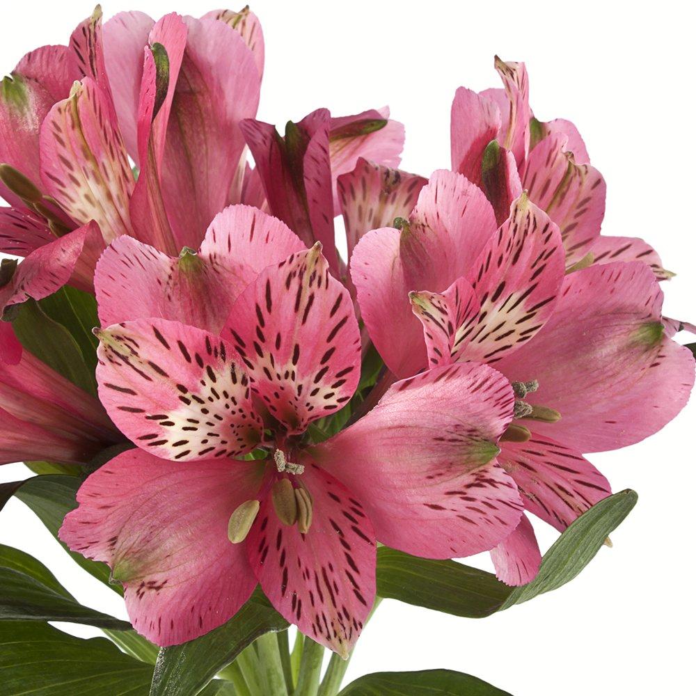 eFlowy - 80 Dark Pink Alstroemerias - Peruvian Lilies Wholesale