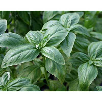 120+GENOVESE BASIL SEEDS Organic Non-GMO HEIRLOOM Herb LITTLE SEED STORE : Garden & Outdoor