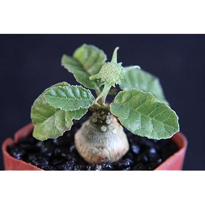 """Toyensnow - Dorstenia foetida Exotic Bonsai Caudex Rare Succulent Plant Cactus Cacti (2"""" Pot) : Garden & Outdoor"""
