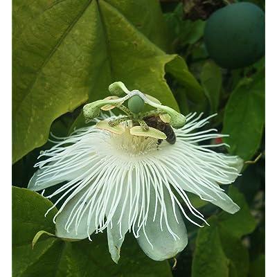 Passiflora eichleriana | Passionflower | Passion Vine | 20_Seeds : Garden & Outdoor