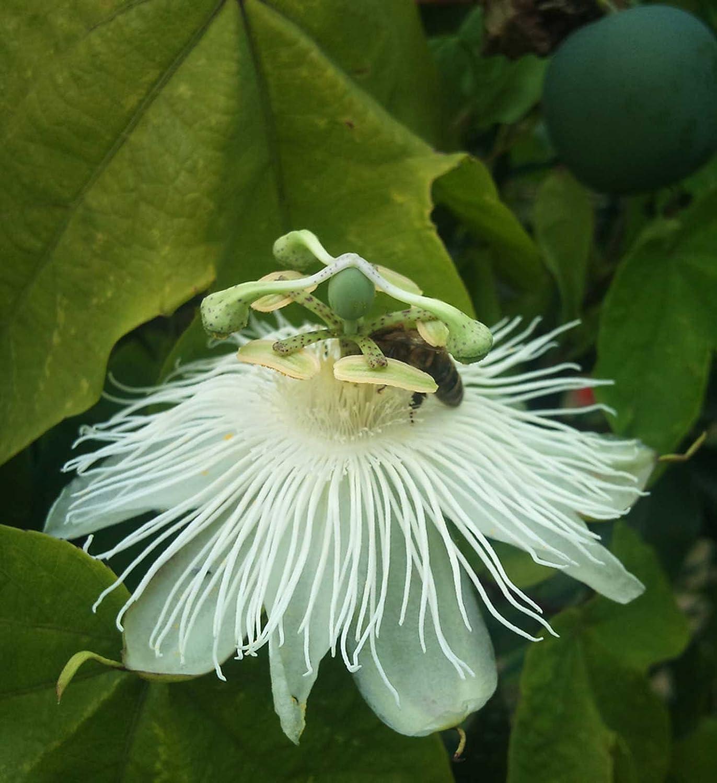 Passionflower 20/_Seeds Passion Vine Passiflora eichleriana