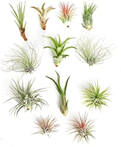 Shop Succulents | Assorted Tropical Tillandsia Air Plant Kit, Hand Selected Variety Pack | Collection of 12, 12 Pack, Green