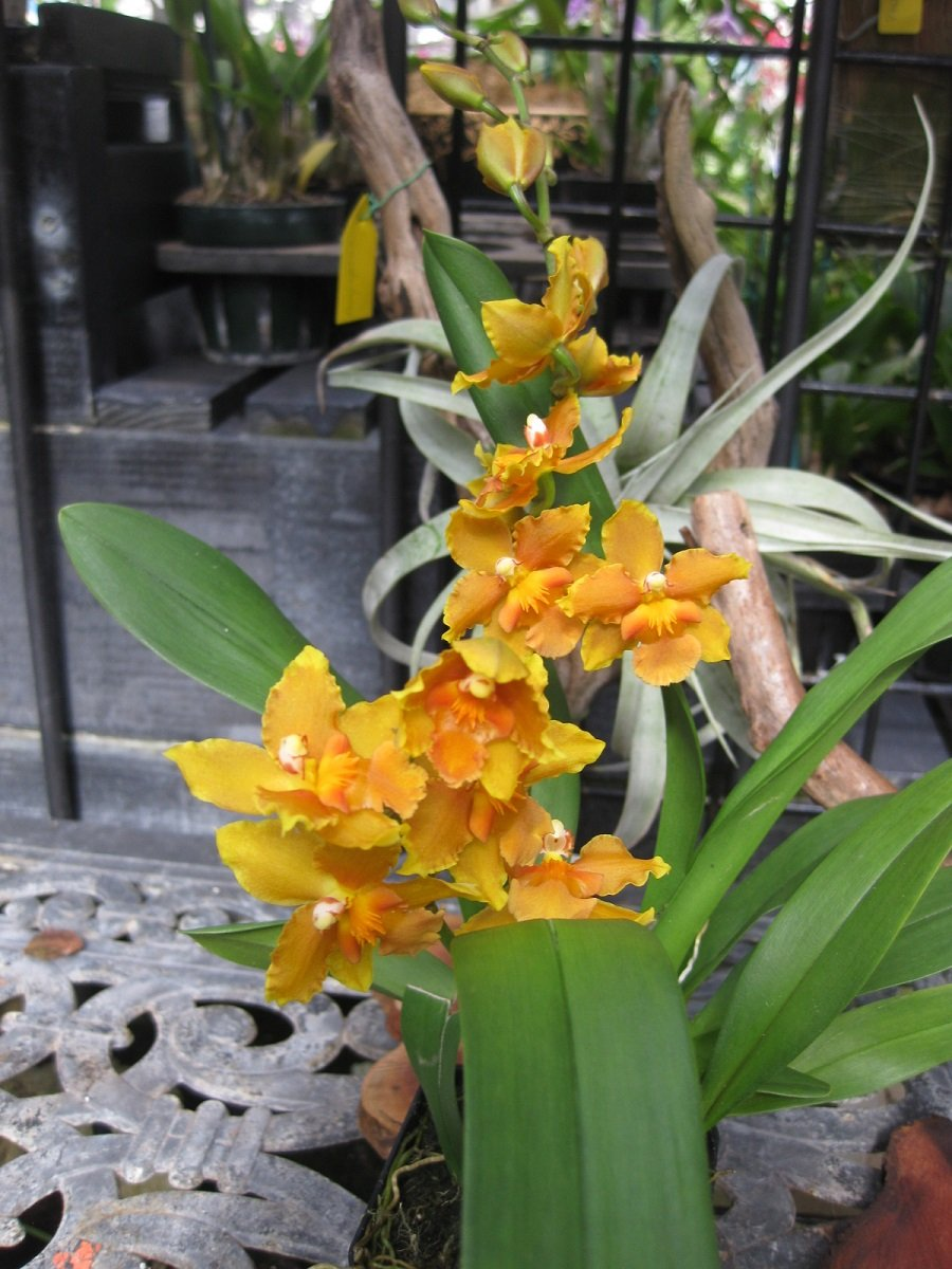Burr. Sunkissed 'Butter Cup' Attractive- Easy to grow & bloom- Orchid Plant