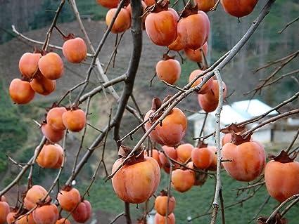 Seeds Japanese Persimmon Flower Tree 5 Seeds Seeds Diospyros kaki Showy, Edible, Fall Color, Fragrant Fruit
