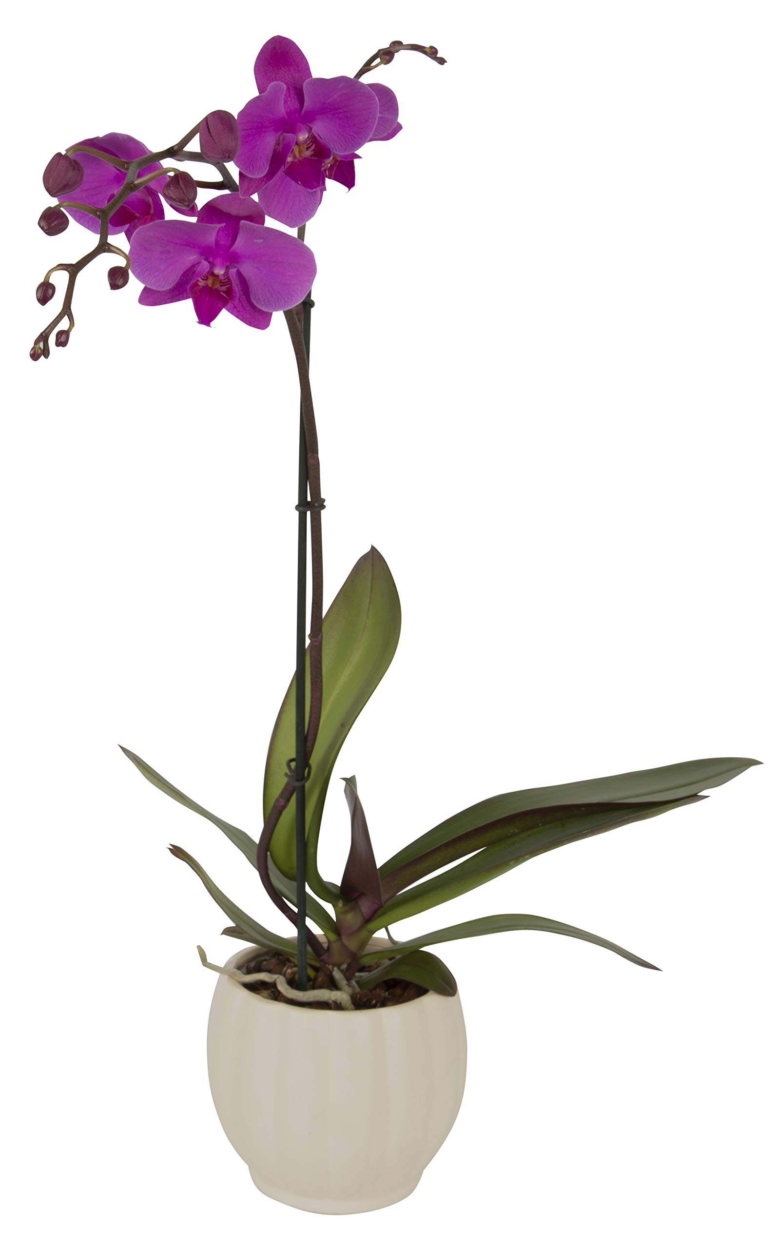 Color Orchids Live Blooming Single Stem Phalaenopsis Orchid Plant in Ceramic Pot, 20'' - 24'' Tall Purple by Color Orchids