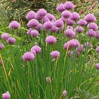 1000 Chives-Allium Schoenoprasum 1000 Seeds Perennial Herb, Organic, Non-GMO!! - Insect Repellent!! : Garden & Outdoor