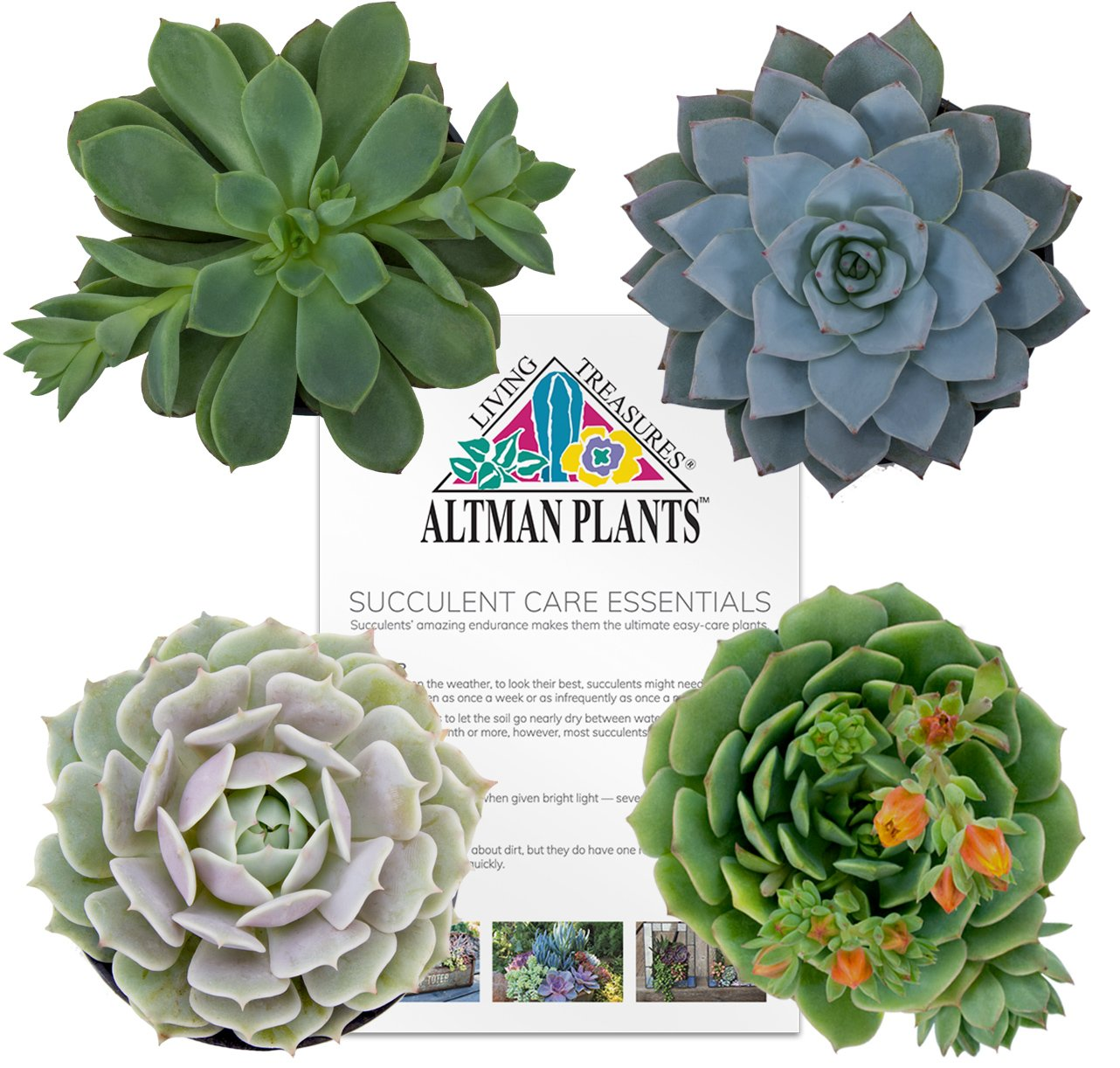 Altman Plants Succulents Flowering Collection 2.5'' 4 Pack