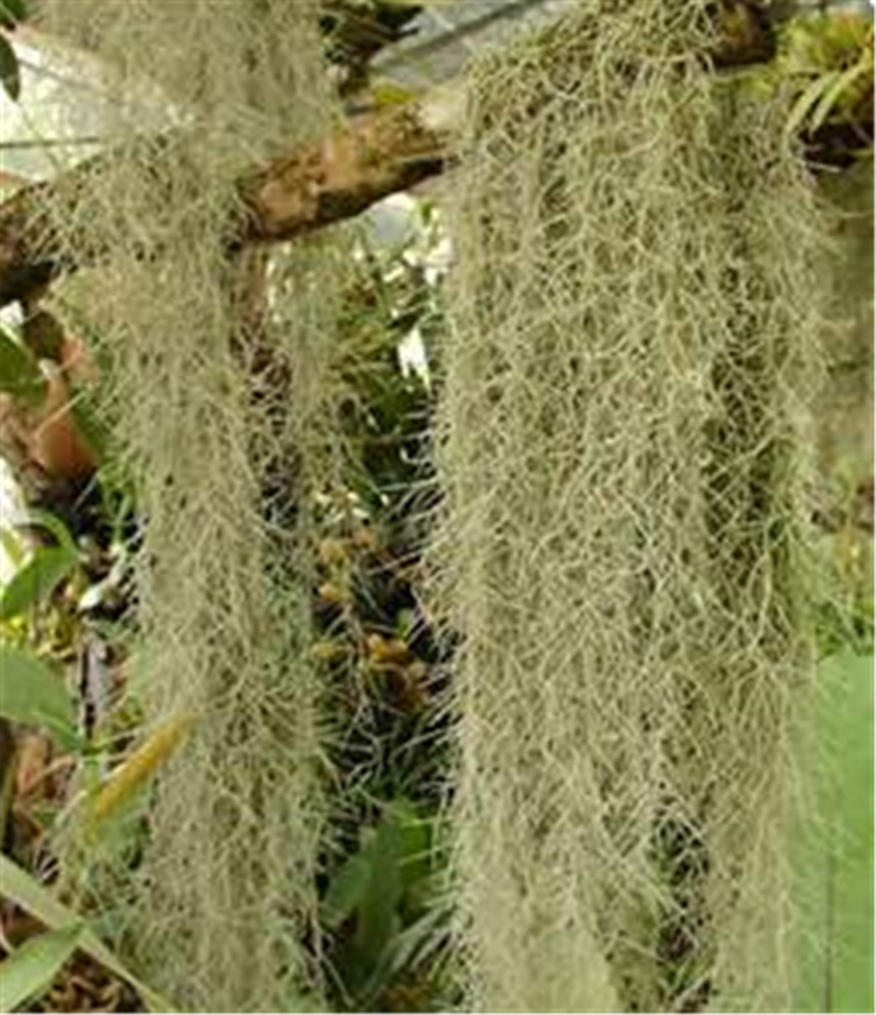 FRESH SPANISH MOSS (5 lbs) - for crafts, displays, costumes, and floral arrangements