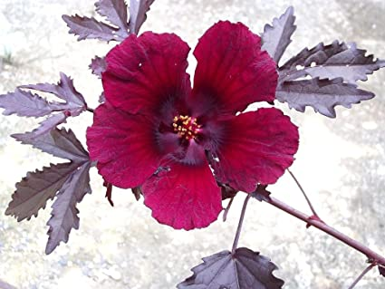 Amazoncom Hibiscus Acetosella Rare Cranberry False Roselle Edible