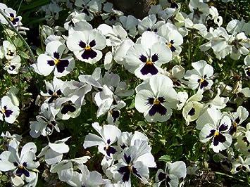 Lot De 50 Graines De Pensee Des Jardins A Grandes Fleurs Suisses