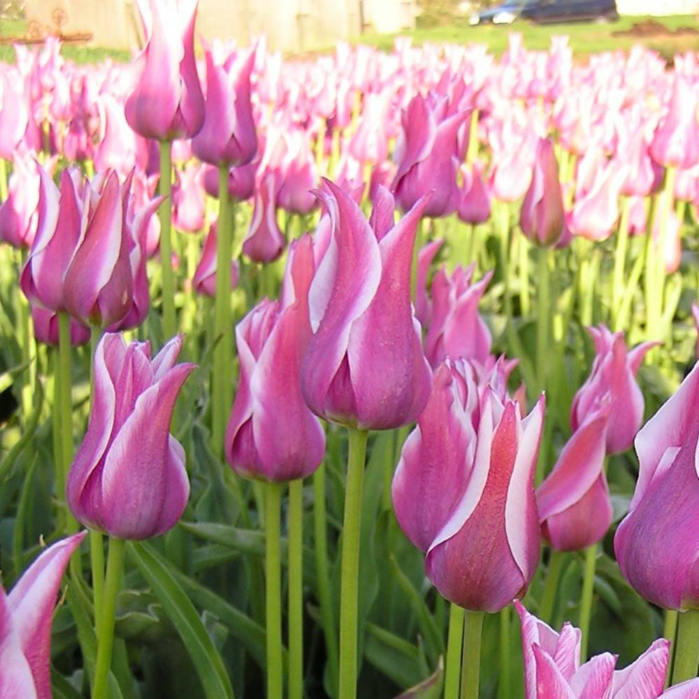 Lilienblütige Tulpe Ballade - 10 blumenzwiebeln Meingartenshop