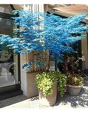 100% reale giapponese fantasma blu Acero Bonsai Semi, 10 Semi / Pack, Acer palmatum atropurpureum, Bonsai SOW TUTTO L'ANNO