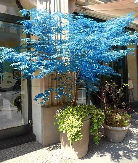 100 Real Japanese Ghost Blue Maple Tree Bonsai Seeds 10 Seeds Pack Acer Palmatum Atropurpureum Bonsai Sow All Year Amazon Ca Patio Lawn Garden