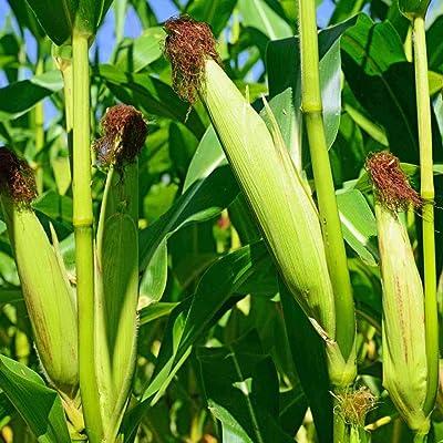 LEANO Garden - 20PCS Sweet Waxy Corn Seeds Cultivation Organic Non-GMO Rare Vegetables Grain Seeds Home Garden Vegetables Planting : Garden & Outdoor