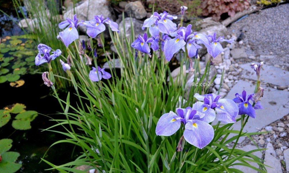 Iris ensata 'Edens Paintbrush' - Marginal Pond Plants - Pond Plants - Water Plants - Bog Plants-None-1 Ltr Lincolnshire Pond Plants