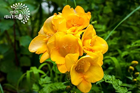 Kriti Kalash Freesia Flower Bulbs Hybrid Variety Double Yellow One Of The Most Popular Flower Bulbs