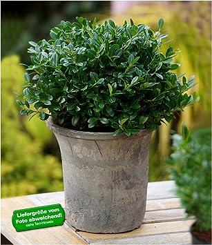 BALDUR Garten Immergrün Luxus® Globe Der Buchs Ersatz, 1 Pflanze Winterhart  Dunkelgrüne