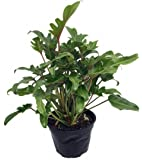 """Deja Vu Philodendron - Easy to Grow House Plant - 6"""" Pot"""