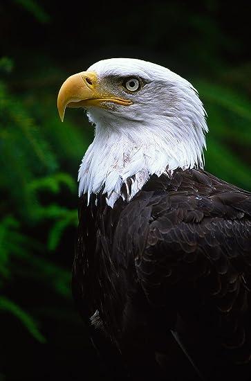 27+ Bald Eagle Wallpaper Images