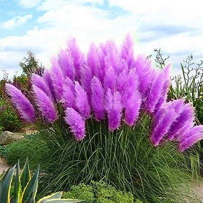 1000Pcs Pampas Grass Cortaderia Selloana Flower Rare Reed Seeds Garden Plant Decor : Garden & Outdoor