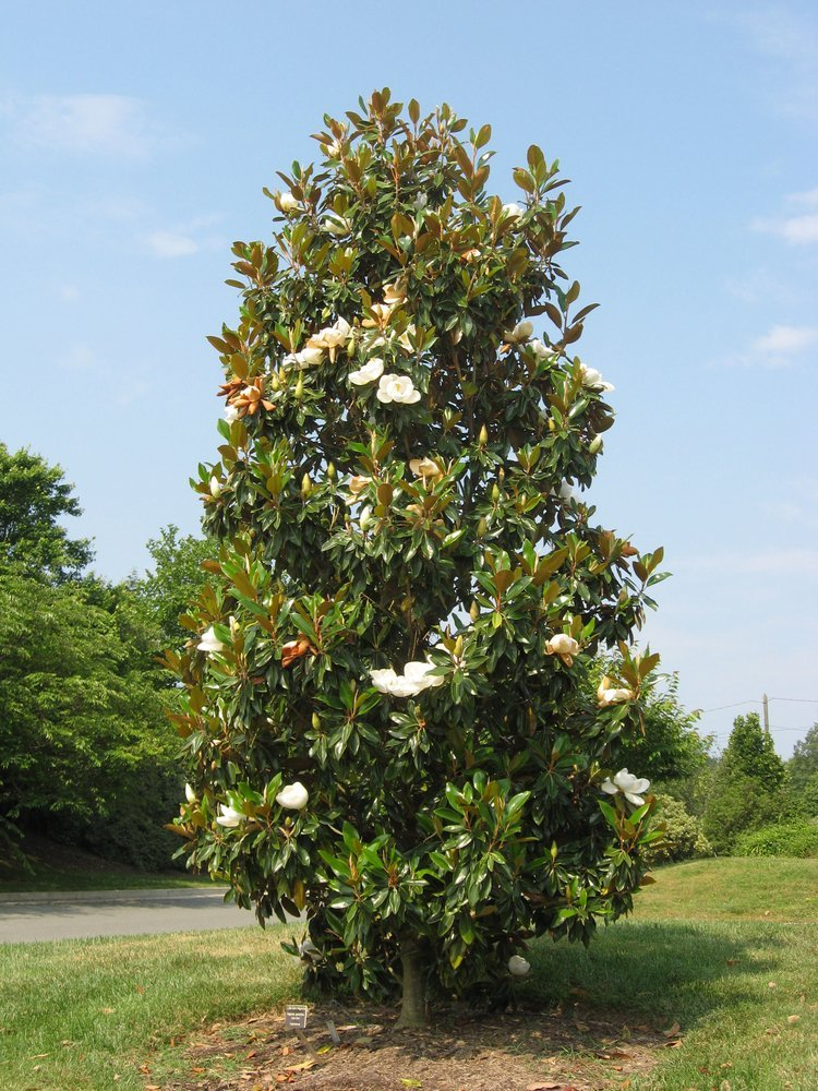 Southern Magnolia Sympathy Gift Tree by The Magnolia Company - Get Beautiful and Fragrant Flowers on Lush''in Memory'' Magnolia Tree Gift