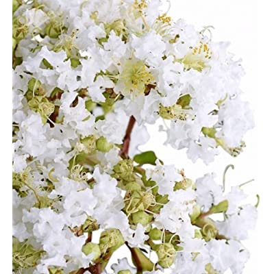 White Pixie Crape Myrtle Seeds UPC 600188196269 + 2 Free Plant Markers (400) : Garden & Outdoor