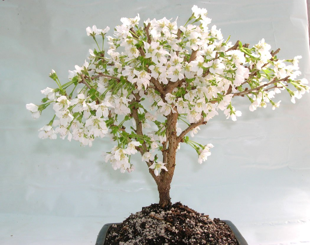 Fuji Cherry Flowering Bonsai Tree Amazoncouk Garden Amp Outdoors