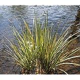 2er-Set - Acorus gramineus - winterhart - Zwergkalmus - Graskalmus - Wasserpflanzen Wolff