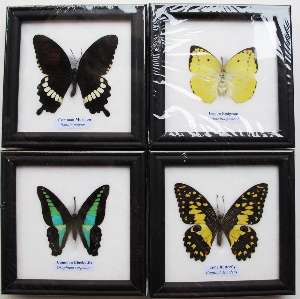 4 MIX REAL BUTTERFLY INSECT TAXIDERMY IN FRAME WITH GLASS FRONT by Thai