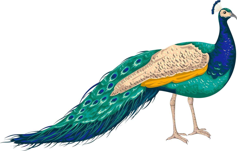 amazon com beautiful majestic peacock cartoon art vinyl sticker 4 wide automotive beautiful majestic peacock cartoon art vinyl sticker 4 wide