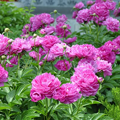 Seed 10Pcs Paeonia Lactiflora Flower Seeds Chinese Herbaceous Peony Garden Home Plant : Garden & Outdoor