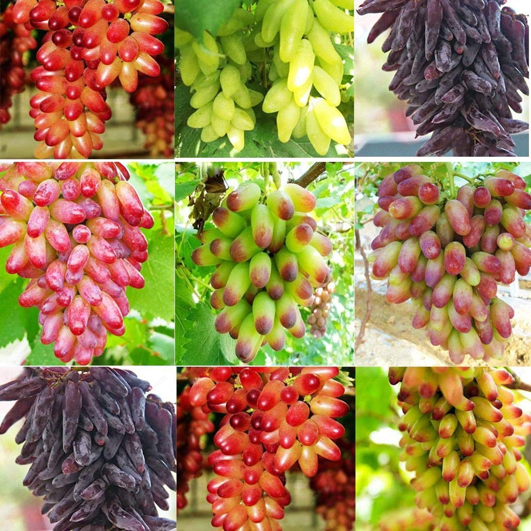 KOUYE GardenSeeds- Rainbow Grape Seeds Fruit Seed Vine Seed Hardy/Perennial Grape Seeds Rare Species Bonsai Fruit Seeds for Home Garden Planting