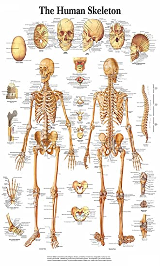 Chicbanners Medical Menschliches Skelett Knochen Anatomie Diagramm ...