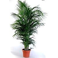 """La palmera de orfebrería más bonita del mundo """"Areca-Palme (Dypsis lutescens"""") sin necesidad de cuidar 1 planta de 110…"""