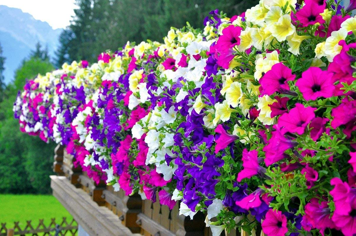 Petunia - mix di varieta - semi: Amazon.it: Giardino e giardinaggio