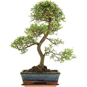Chinesische Ulme, Bonsai, 10 Jahre, 53cm: Amazon.de: Garten