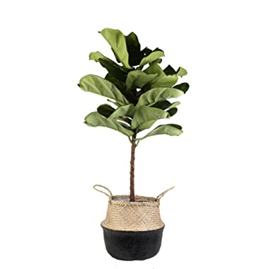 Costa Farms Live Ficus Lyrata, Fiddle-Leaf Fig, Indoor Tree, 4-Feet Tall, Ships in Seagrass Basket, Black-Natural, Fresh From Our Farm