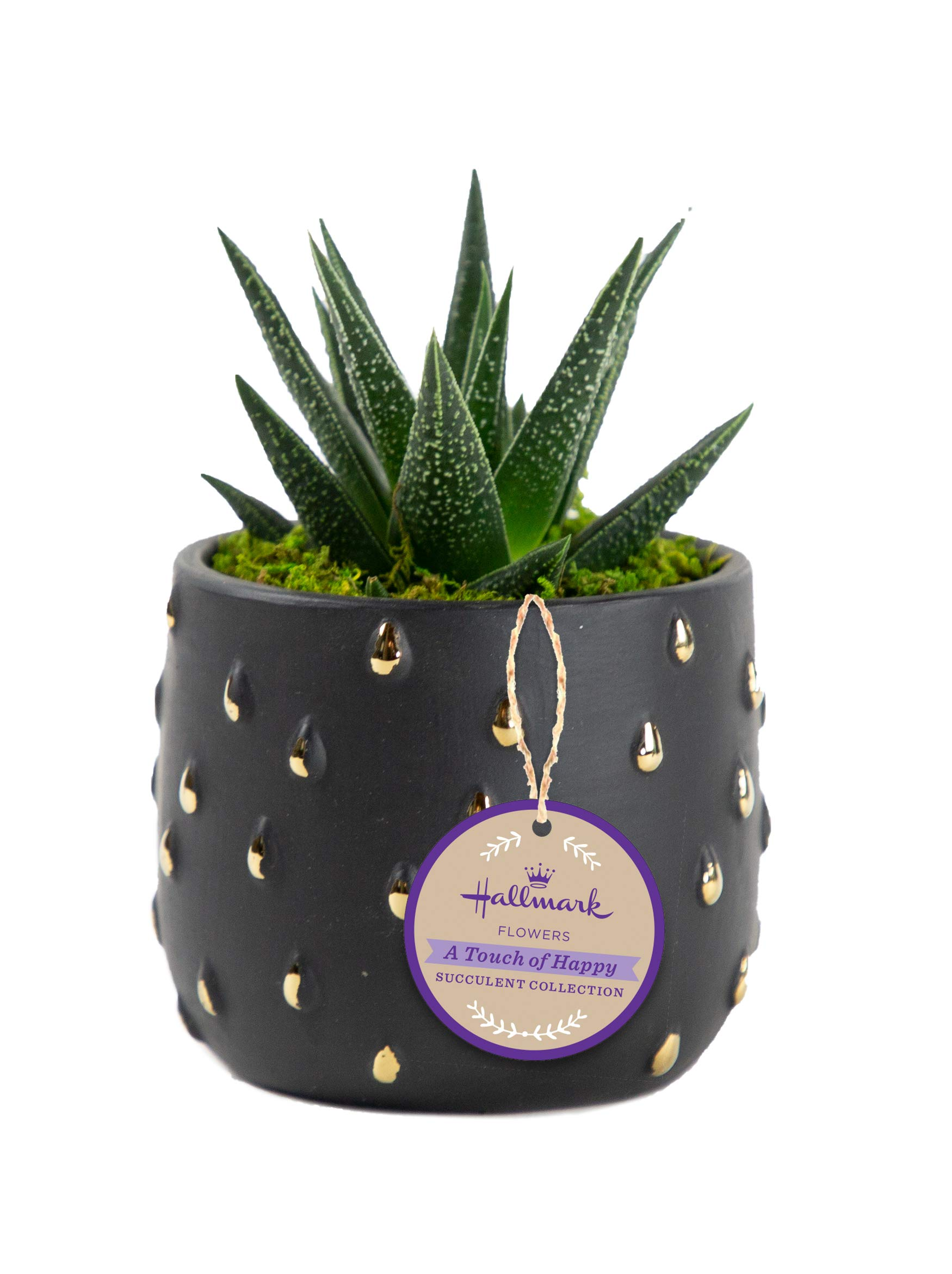 Live Succulents in Black & Gold Ceramic Containers, From Hallmark Flowers