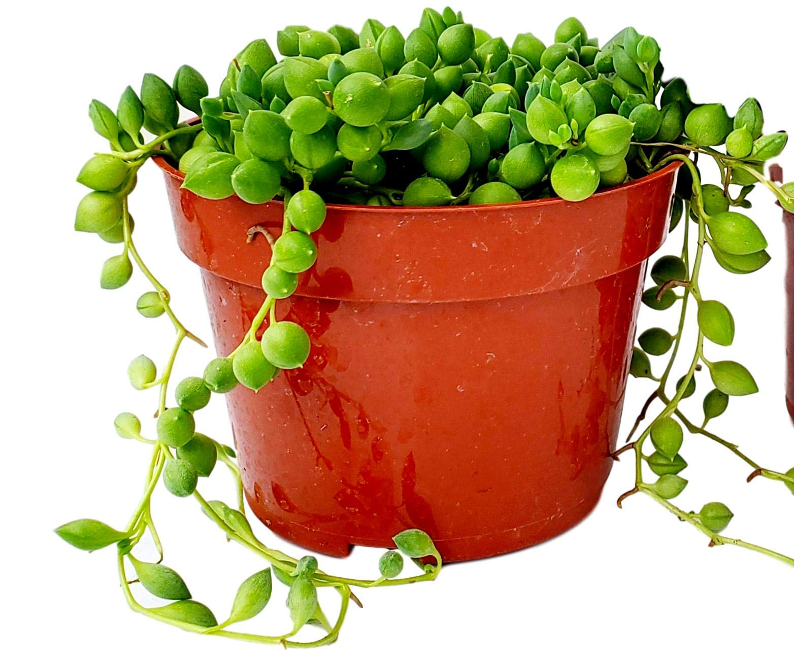 Fat Plants San Diego Succulent Plant(s) Fully Rooted in 4 inch Planter Pots with Soil - Real Live Potted Succulents/Unique Indoor Cactus Decor (1, String of Pearls) by Fat Plants San Diego